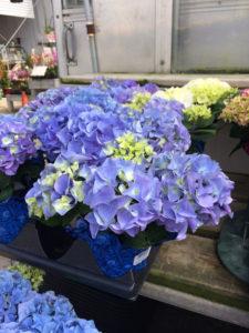 Hydrangeas purple and blue