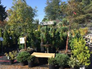 Evergreen street in our garden centre